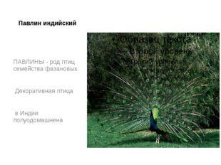 Павлин индийский ПАВЛИНЫ - род птиц семейства фазановых. Декоративная птица в