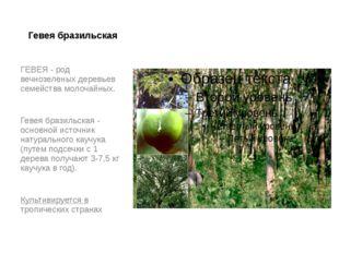 Гевея бразильская ГЕВЕЯ - род вечнозеленых деревьев семейства молочайных. Гев