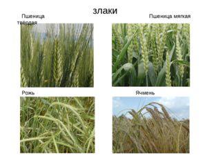 злаки Рожь Ячмень Пшеница твёрдая Пшеница мягкая