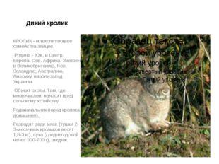 Дикий кролик КРОЛИК - млекопитающее семейства зайцев. Родина - Юж. и Центр. Е