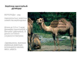 Верблюд одногорбый- дромедар ВЕРБЛЮДЫ - род парнокопытных животных семейства