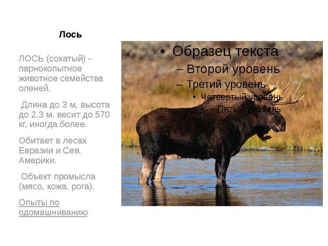 Лось ЛОСЬ (сохатый) - парнокопытное животное семейства оленей. Длина до 3 м,...