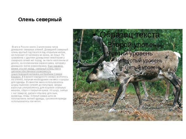 Олень северный Всего в России около 2 миллионов голов домашних северных олене...