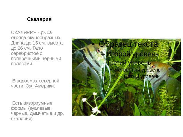 Скалярия СКАЛЯРИЯ - рыба отряда окунеобразных. Длина до 15 см, высота до 26 с...