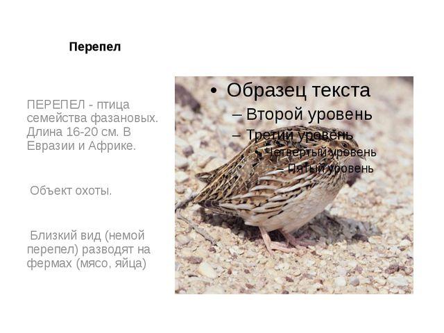 Перепел ПЕРЕПЕЛ - птица семейства фазановых. Длина 16-20 см. В Евразии и Афри...