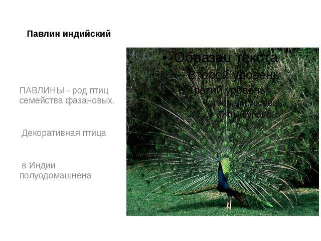 Павлин индийский ПАВЛИНЫ - род птиц семейства фазановых. Декоративная птица в...