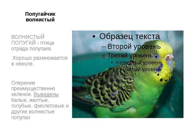 Попугайчик волнистый ВОЛНИСТЫЙ ПОПУГАЙ - птица отряда попугаев. Хорошо размно...