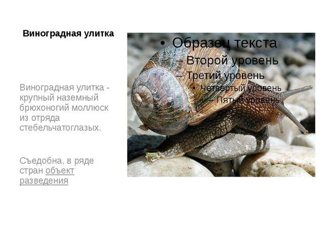 Виноградная улитка Виноградная улитка - крупный наземный брюхоногий моллюск и...