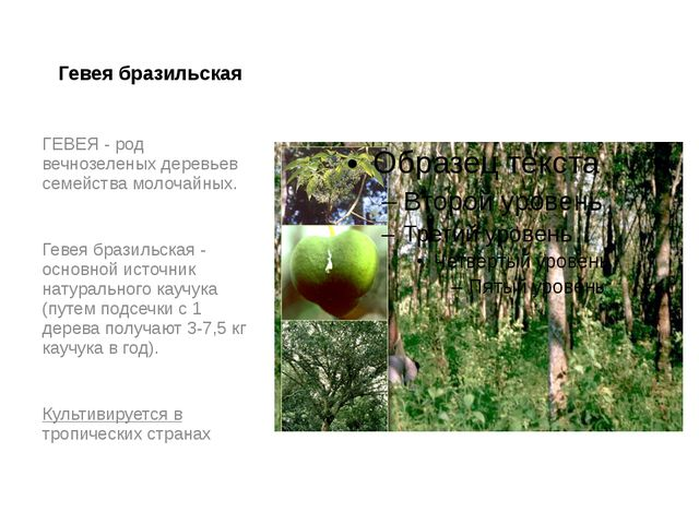Гевея бразильская ГЕВЕЯ - род вечнозеленых деревьев семейства молочайных. Гев...