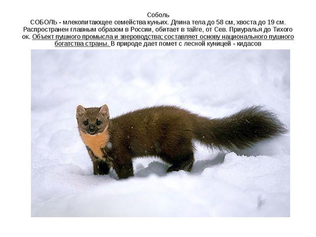 Соболь СОБОЛЬ - млекопитающее семейства куньих. Длина тела до 58 см, хвоста д...