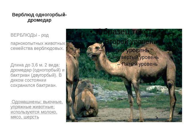 Верблюд одногорбый- дромедар ВЕРБЛЮДЫ - род парнокопытных животных семейства...