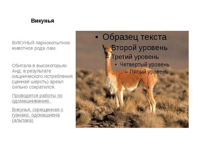 Викунья ВИКУНЬЯ парнокопытное животное рода лам. Обитала в высокогорьях Анд;...