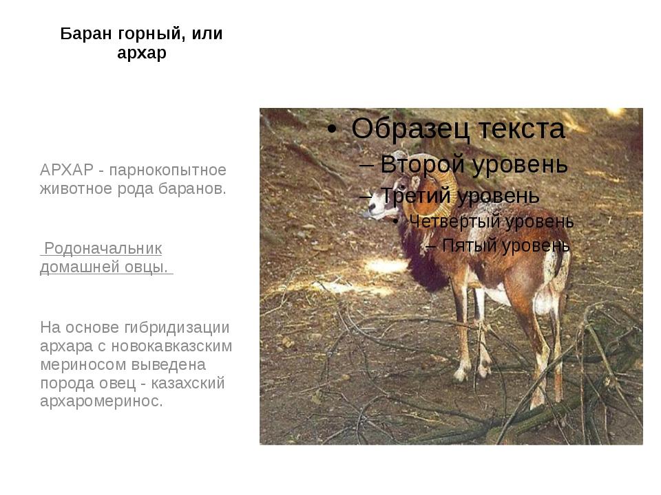 Баран горный, или архар    АРХАР - парнокопытное животное рода баранов. Ро...
