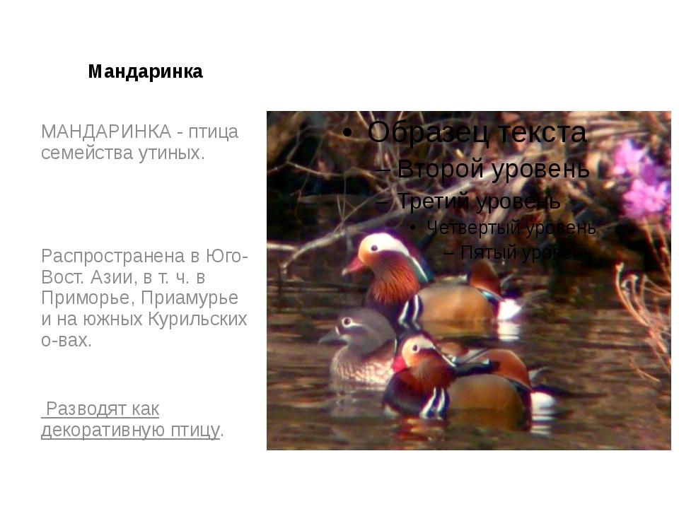 Мандаринка МАНДАРИНКА - птица семейства утиных. Распространена в Юго-Вост. Аз...