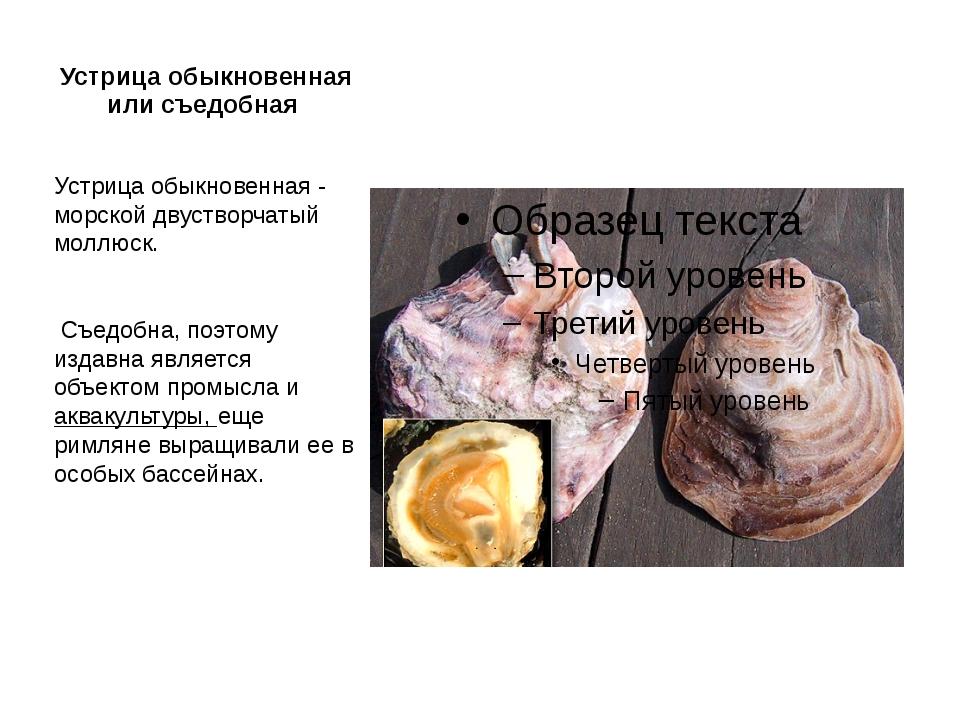 Устрица обыкновенная или съедобная Устрица обыкновенная - морской двустворчат...