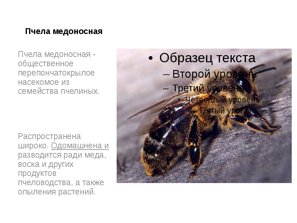 Пчела медоносная Пчела медоносная - общественное перепончатокрылое насекомое...