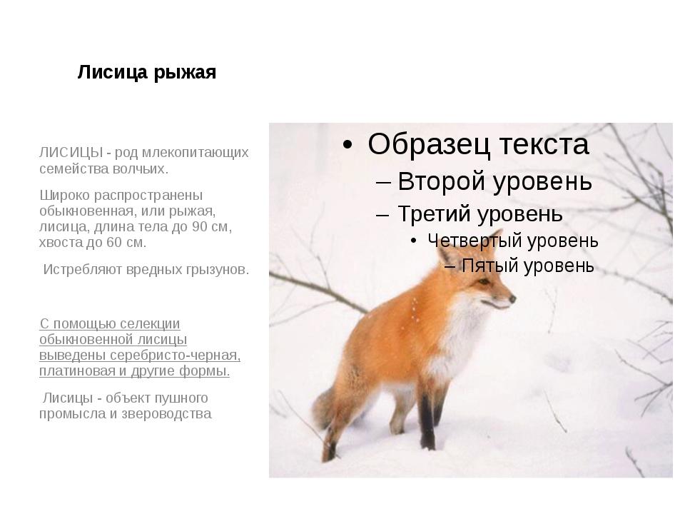 Лисица рыжая ЛИСИЦЫ - род млекопитающих семейства волчьих. Широко распростран...