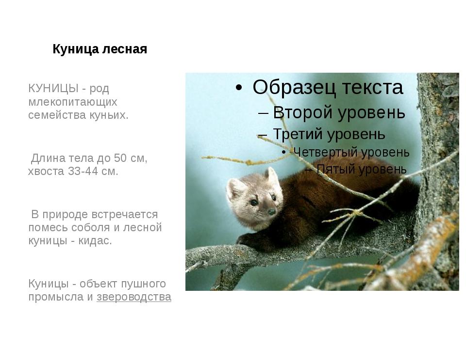 Куница лесная КУНИЦЫ - род млекопитающих семейства куньих. Длина тела до 50 с...
