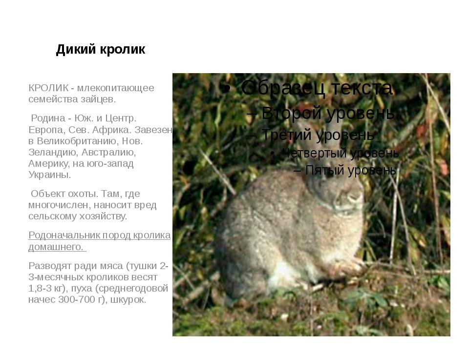 Дикий кролик КРОЛИК - млекопитающее семейства зайцев. Родина - Юж. и Центр. Е...