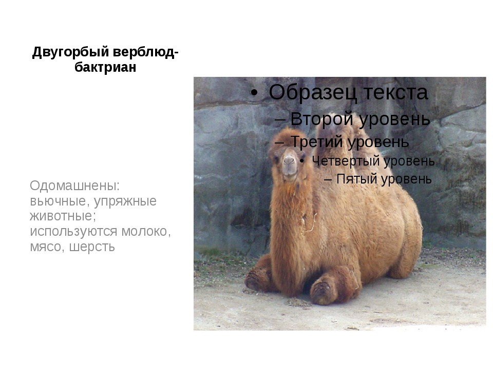Двугорбый верблюд- бактриан Одомашнены: вьючные, упряжные животные; использую...