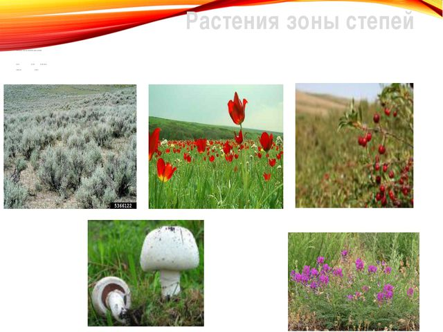 Растения зоны степей Полынь, шалфей, тюльпан, ирис, ковыль-волосатик, астраг...