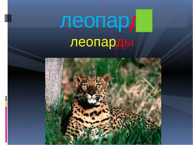 леопарды леопард