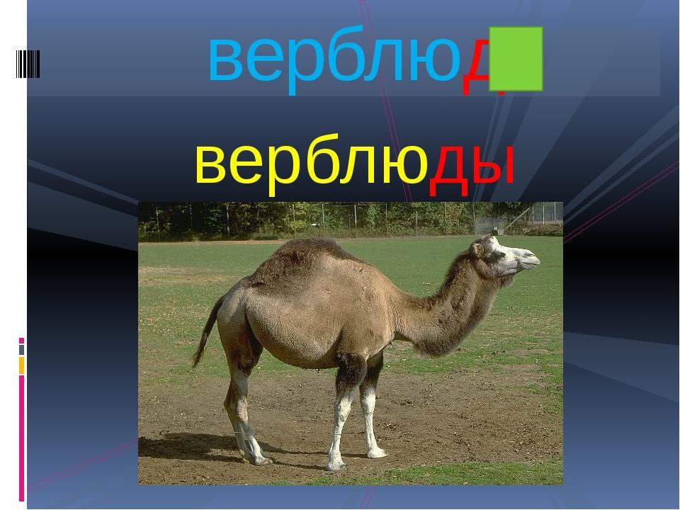 верблюды верблюд