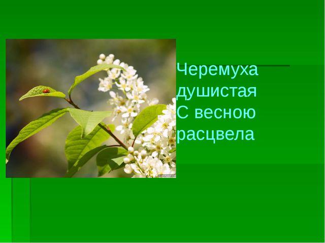 Черемуха душистая С весною расцвела
