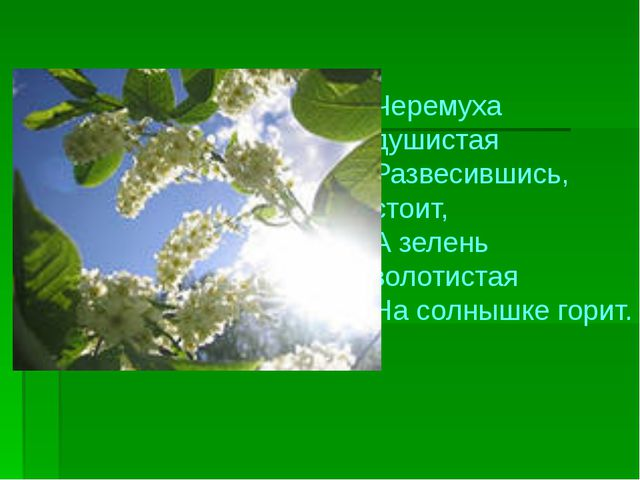Черемуха душистая Развесившись, стоит, А зелень золотистая На солнышке горит.