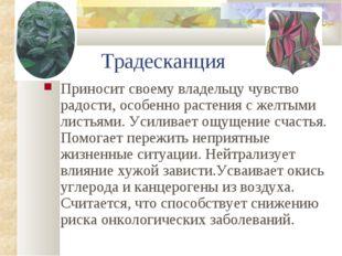Традесканция Приносит своему владельцу чувство радости, особенно растения с