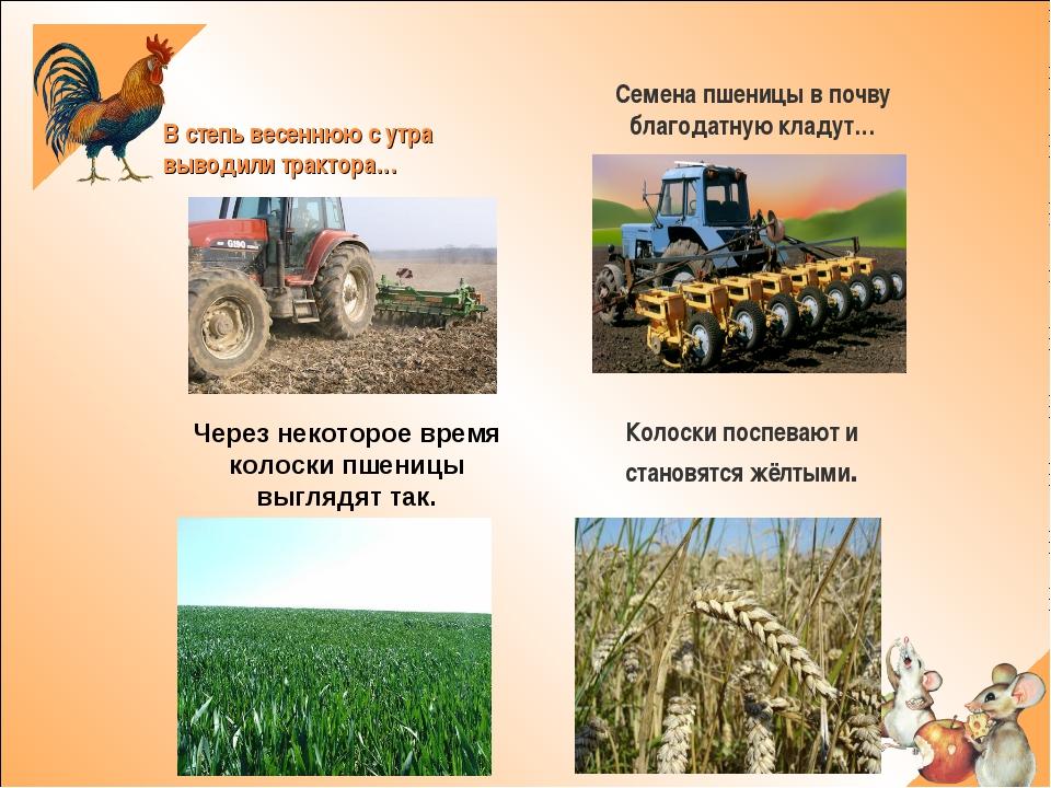 В степь весеннюю с утра выводили трактора… Семена пшеницы в почву благодатну...