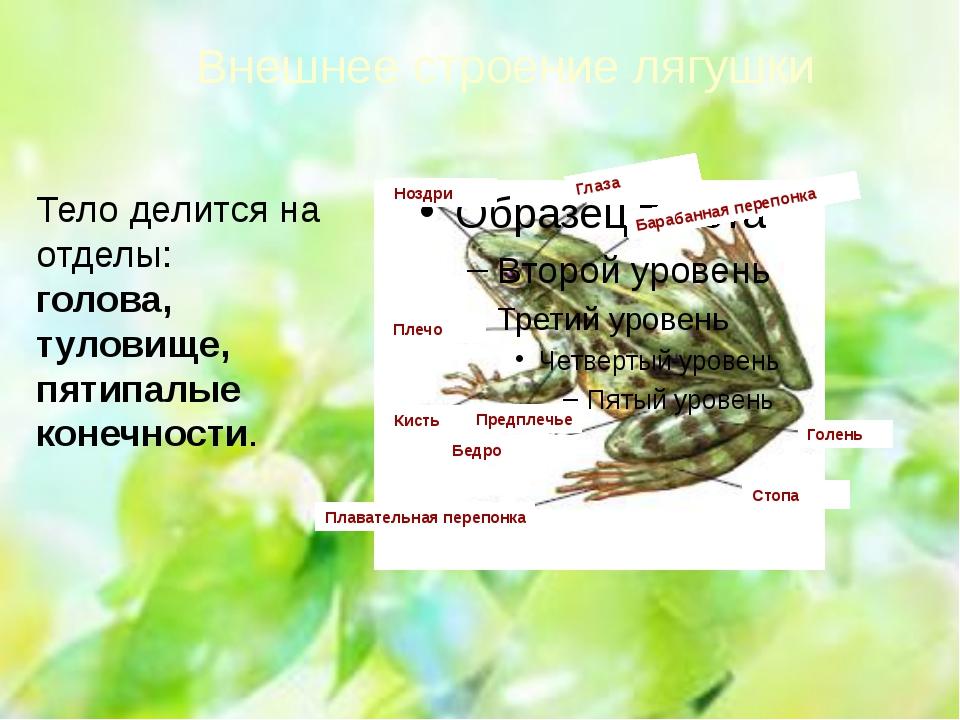 Внешнее строение лягушки Ноздри Глаза Барабанная перепонка Плечо Предплечье К...