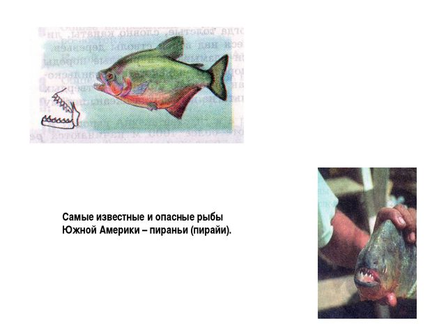 Самые известные и опасные рыбы Южной Америки – пираньи (пирайи).