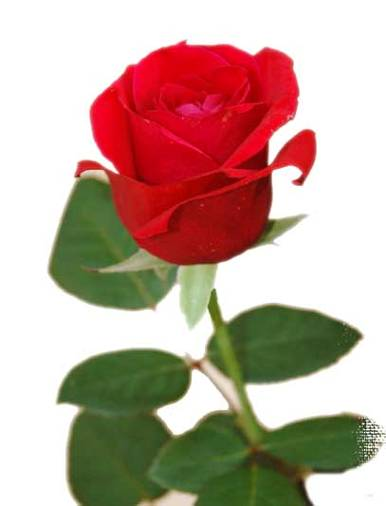 роза22