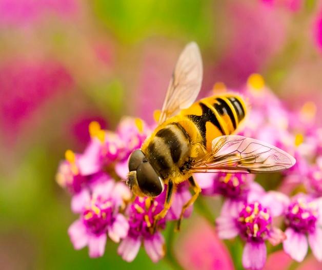 F:\насекомые\пчела 3.jpg