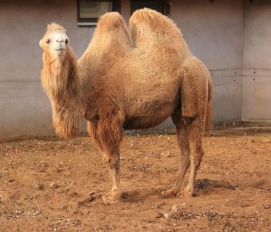 F:\тут все\двугорбый верблюд.jpg