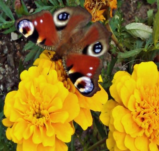 F:\насекомые\бабочка 7.jpg