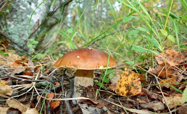 F:\грибы\боровик.jpg