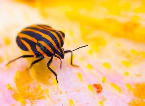 F:\насекомые\клоп2.jpg