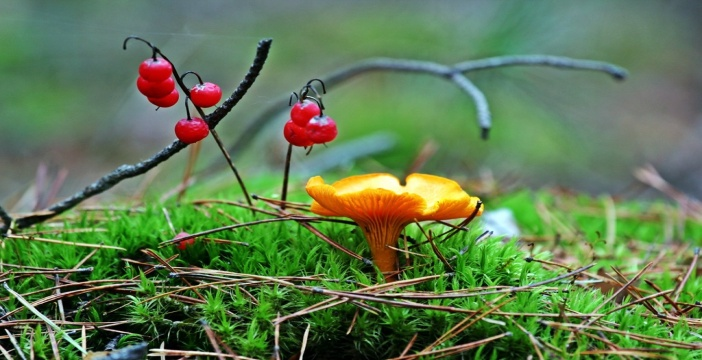 F:\грибы\гриб октябр. лисичка.jpg