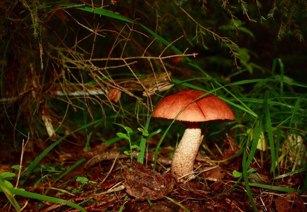 F:\грибы\подосиновик.jpg