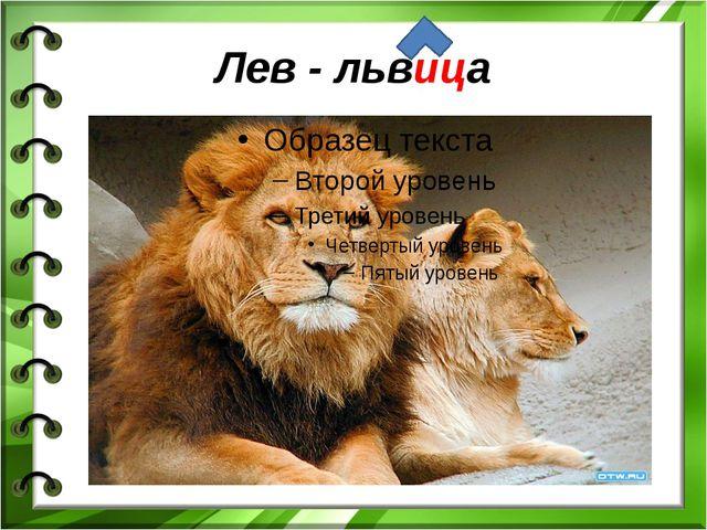 Лев - львица