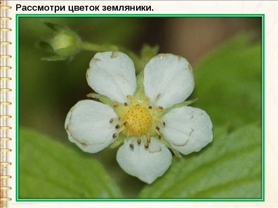 Рассмотри цветок земляники.