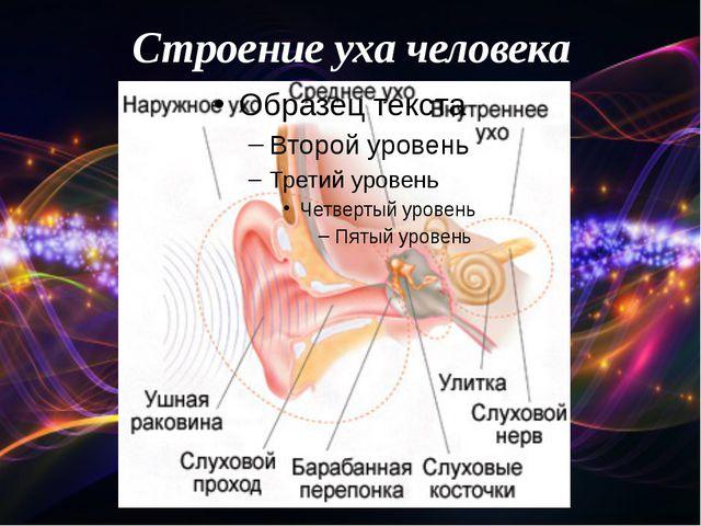 Строение уха человека