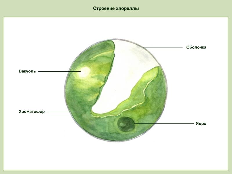 Внешнее строение хлореллы (Рисунок).png