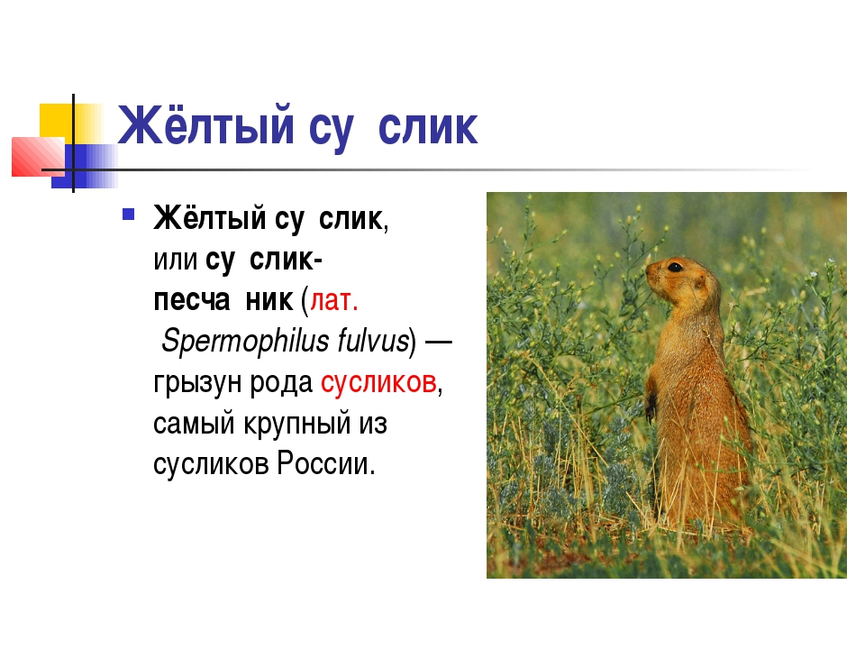 Жёлтый су́слик Жёлтый су́слик, илису́слик-песча́ник(лат.Spermophilus fulvu...