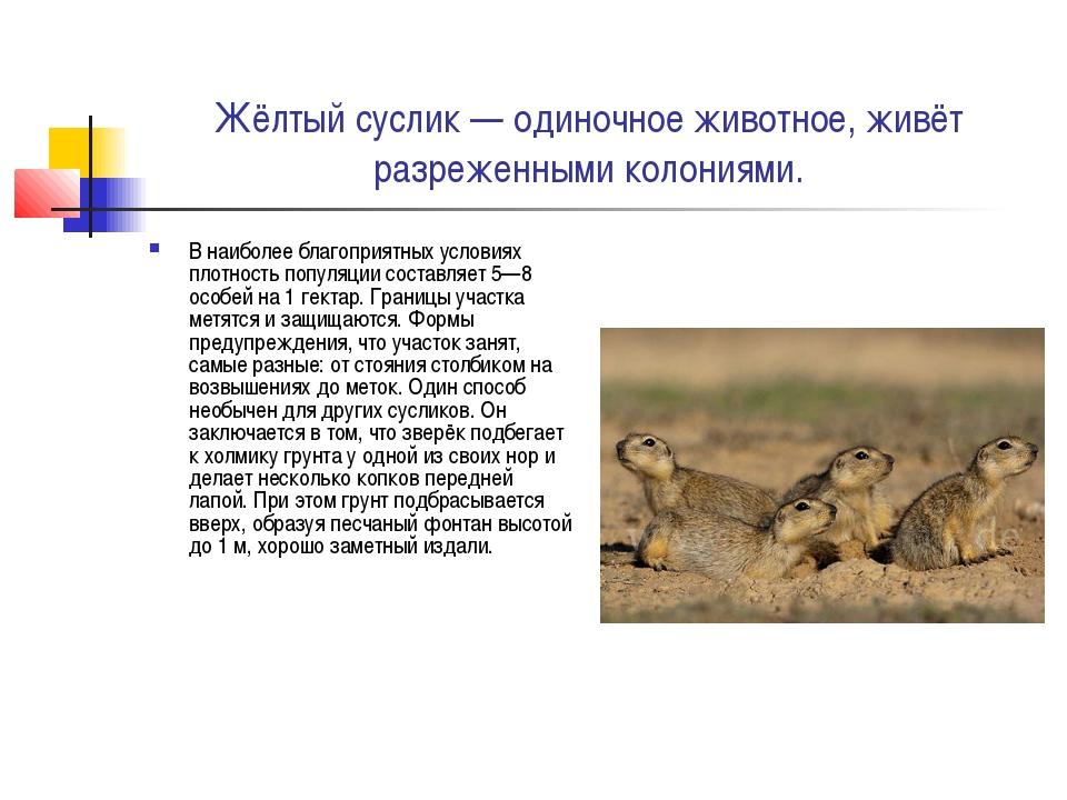 Жёлтый суслик — одиночное животное, живёт разреженными колониями. В наиболее...