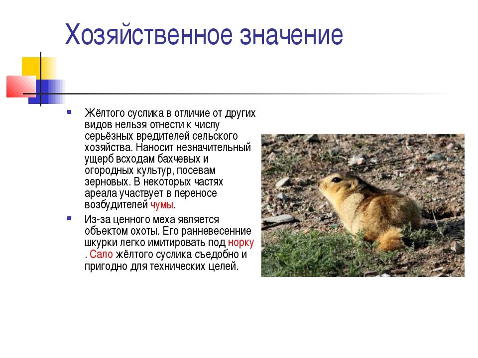 Хозяйственное значение Жёлтого суслика в отличие от других видов нельзя отнес...