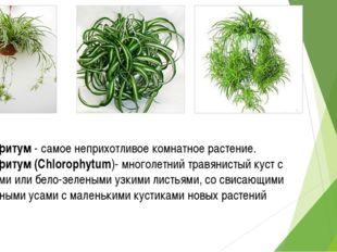 Хлорофитум - самое неприхотливое комнатное растение. Хлорофитум (Chlorophytum