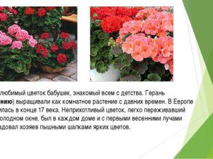 Герань - любимый цветок бабушек, знакомый всем с детства. Герань (Пеларгонию)